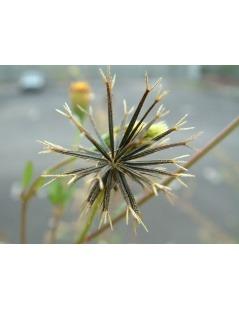 Picão Preto (Bidens pilosa L.)