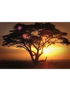 Árvore do Borututu - Cochlospermum Angolense)