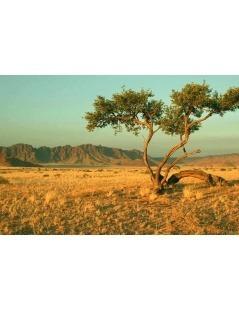 Chá de Borututu em raíz - Cochlospermum Angolense
