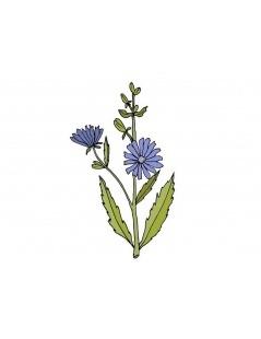 La chicorée de la plante (Cichorium intybus L.)