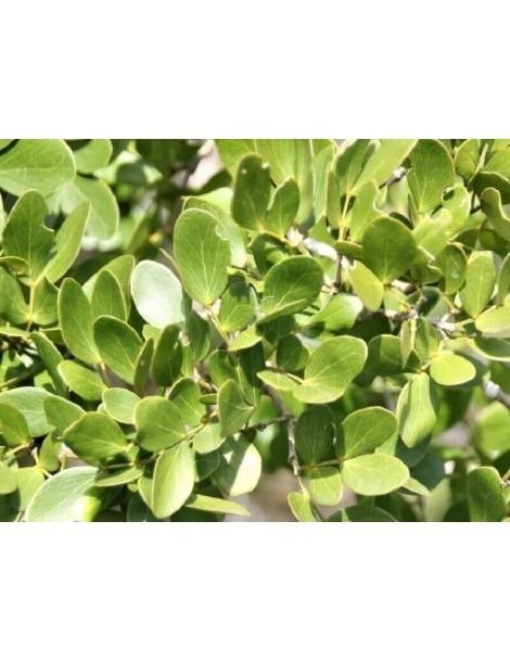 Guaiaco Lignum-vitae (Guaiacum officinale)
