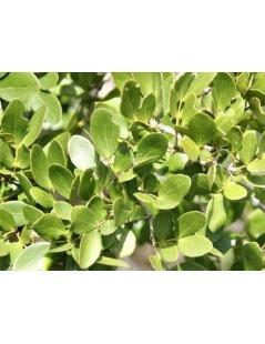 Tee Guaiaco (Guaiacum officinale)