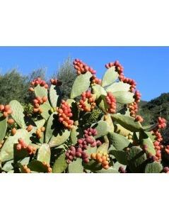 Nopal Blumen - Kaktus (Opuntia ficus-Indica) - Bio