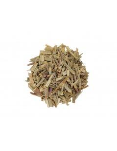 Chicory plant (Cichorium intybus L.)