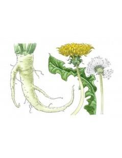 Dandelion Root - Taraxacum officinale L.